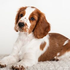 """Determine even more relevant information on """"English cocker spaniel"""". Check out our web site. Cute Puppies, Cute Dogs, Dogs And Puppies, Corgi Puppies, Brittany Spaniel Puppies, Welsh Springer Spaniel Puppies, Cocker Spaniel, Beagle Dog, Puppy Eyes"""