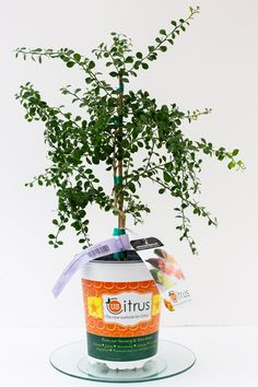 Australian Finger Lime Tree – Care Guide Included – Texas Grown – No Shipping to ca, fl, az, la - Modern Citrus Trees, Fruit Trees, Lime Trees, Fruit Plants, Tall Plants, Plants Indoor, Shade Plants, Tropical Plants, Potted Plants
