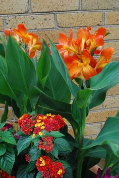 Cannas have big blue green leaves. This plant is a living sculpture-never mind the flowers.They look dark green and juicy, even when the air temperature is close to 100 degrees. This canna variety Orange Punch planted in roof boxes will provide stature and volume with its big leaves.