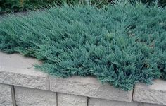 Blue Chip Juniper (40cm high; 3m wide) Superb silver-blue foliage of fine texture in a low mounding shape. Superior ground cover.  Grows best in full sun. Canadale Nurseries Ltd.