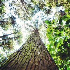 【susumumoriguchi】さんのInstagramの写真をピンしています。《風車は風をあつめて  樹木は光をあつめて  ひとつ高いところに  いろいろとあつまる  この #木 #何の木  #気にならない #全然気にならない  #風車 の動画とセット #緑 #グリーン #林 #森  #green #plants #forest  #nikon #ニコン #p900》