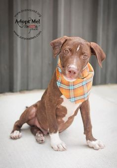 05/02/15-Austin Dog • Labrador Retriever & Pit Bull Terrier Mix • Adult • Male • Medium Pup Squad Animal Rescue Houston, TX