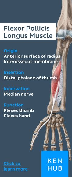 Origins, Insertion, Innervation and Functions of the flexor pollicis longus and more in our free Kenhub article. Elbow Anatomy, Forearm Anatomy, Wrist Anatomy, Shoulder Anatomy, Hand Anatomy, Hand Therapy, Massage Therapy, Physical Therapy, Occupational Therapy