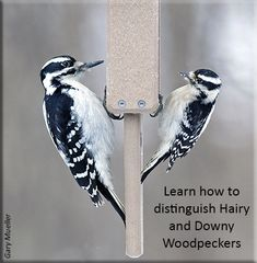 Hairy = Huge, Downy = Dinky Saw a Hairy at the feeder Downy Woodpecker, Backyard Birds, Wild Birds, Habitats, North America, Wildlife, Woodpeckers, Feathers, Wings