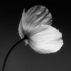 Black and White Photography - Fine Art Print - Minimalist Art - Nature - Poppy - Giclee print - Flower art