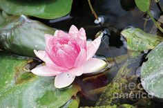 I spotted this lovely specimen floating in a lily pond at Wildseed Farms near Fredericksburg, Texas, in spring The farm grows acres of native wildflowers and harvests the seeds to sell. This digital painting was created in April
