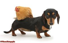 Tricolour Dachshund and chicken photo - wish pepito would love the chickens enough to have this photo