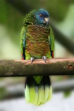 St Lucia Amazon (Amazona versicolor) Frontal view of perched female