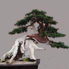 Indoor Bonsai, Bonsai Plants, Bonsai Garden, Air Plants, Ikebana, Bonsai Meaning, Juniper Bonsai, Bonsai Styles, Potted Trees