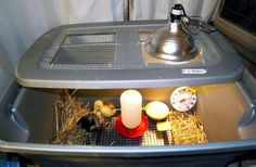 Duckling Care & Brooder Ideas - BackYard Chickens Community