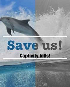 Cove Guardians@CoveGuardiansKillers and trainers cheer as they kidnap Bottlenose dolphins from their family. http://livestream.seashepherd.org 9:36a #tweet4taiji