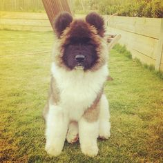 akita puppy love how fluffy it looks :)