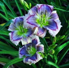 Tips on Growing Daylilies   I always snip off the dead flowers.  I usually get more blooms later in the summer.