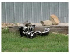 Teenager skunks with their mama