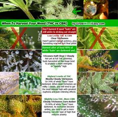 """Infographic on when to harvest your marijuana by looking at color of """"hairs"""" and glittery trichomes.    Source: http://www.growweedeasy.com/the-basics-of-growing-marijuana"""