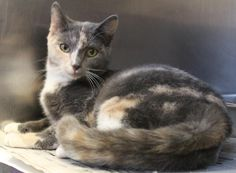 Meet C-61826 Missy, a Petfinder adoptable Tortoiseshell Cat | Mount Holly, NJ | Missy is a beautiful diluted tortie/calico mix that lost her way in Burlington City. She is a...