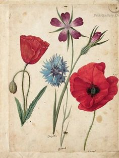 Jacques le Moyne, A Sheet Of Studies Of Flowers Two Corn Poppies, A Corn Cockle And A Cornflower