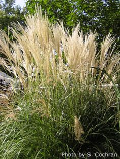 1000 images about ornamental grasses on pinterest for Landscaping grasses varieties
