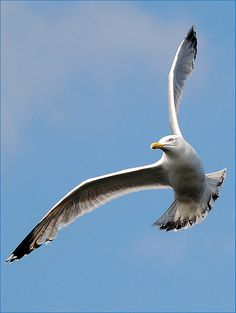photos of seagulls - Google Search