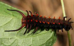 Гусеница до превращения в бабочку.