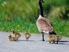 Search Canada goose pet. Views 8541.