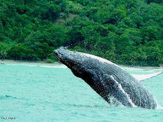Sabías qué?  La mayoría de las Ballenas Jorobadas en el Océano Pacífico han nacido en el Golfo Dulce!