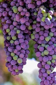 Green and purple grapes. Sauvignon Blanc, Cabernet Sauvignon, Shades Of Purple, Green And Purple, 50 Shades, Chenin Blanc, Vides, Purple Home, Herbs