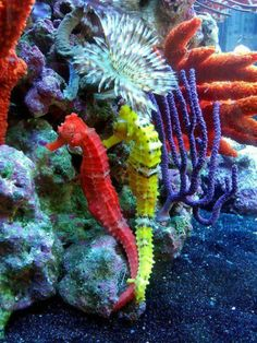 angelillo  /  Colorful Coral and Seahorses