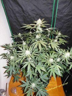 Cannabis strain Moonstone by Pal