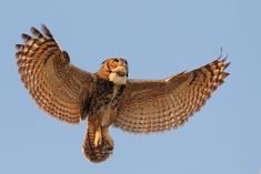 Great Horned Owl Flying | Nature & Wildlife Posting Guidelines