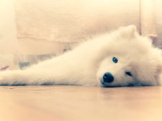 Samoyed is sleepy.