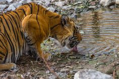 getting thirsty. then hungry India, Animals, Goa India, Animales, Animaux, Animal, Animais, Indie, Indian