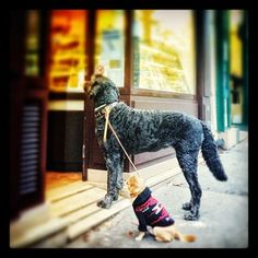Parisian doggies waiting for their owner outside the boulangerie.