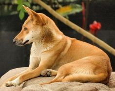 This is a dingo.  Google Image Result for http://www.imperfectparent.com/topics/images/2011/04/dingo-300x238.jpg
