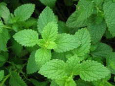 Mesquitoes DO NOT LIKE the SMELL of MINT. I spray store brand MINT Listerine on my patio and my body/clothes and it WORKS! Listerine mint flavored here I come! Peppermint Plants, Peppermint Tea, Peppermint Oil Uses, Peppermint Chocolate, Herbal Remedies, Home Remedies, Natural Remedies, Natural Treatments, Cleaning Recipes