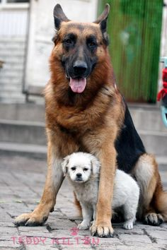 extra large dog breeds - Google Search