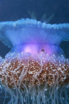 australian jellyfish