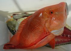 Red Emperor Elizabeth E II Great Barrier Reef QLD Australia