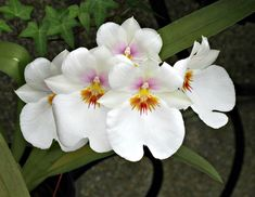 https://flic.kr/p/v2TeuC   Orchids, Longwood Gardens IMG_2746   Longwood Gardens, Kennett Square, PA USA  Photograph by Roy Kelley Roy and Dolores Kelley Photographs