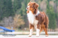 "hadissima: "" Australian Shepherd Kaylee enjoying being at the lake "" Australian Shepherd Blue Eyes, Mini Australian Shepherds, Australian Shepherd Puppies, Aussie Dogs, Mini Aussie, West Highland Terrier, Dog Photos, Dog Pictures, Cute Puppies"
