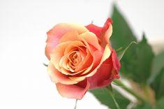 Rose チェリ-ブランデ 茶色 花言葉。。愛らしい。新鮮。満足。不安を鎮める。誇り