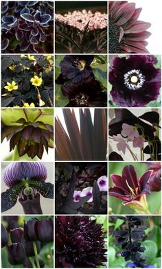 1. Frosted Purple Barberry, 2. Sambucas nigra – Black Lace, 3. sunflower, 4. Oxalis, 5. Black-Hollyhocks, 6. black-double poppies, Papaver paeoniflorum, 7. Helleborus16, 8. Cordyline australis 'red sensation', 9. Oxalis triangularis, 10. Orchid - Paph.(Hsinying Web×Macabre) 'Jamboree Black', 11. Dark Sweet Potato, 12. Black Daylily, 13. Tulip, 14. Dahlia, 15. Black calyces