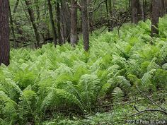 Matteuccia struthiopteris (Ostrich Fern): Minnesota Wildflowers.  Native, perennial.  Part shade, shade, sun; moist to wet; swampy woods, thickets.  Blooms in summer, 2 to 6' high.
