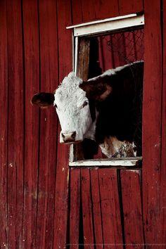 Country Living ~ Peek-a-boo Cow Country Barns, Country Life, Country Living, Country Charm, Barn Animals, Cute Animals, Farm Barn, Down On The Farm, Farms Living