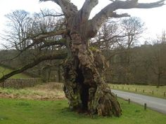 Laund Oak at Bolton Abbey, North Yorkshire. This tree is over 800 years old and beautifully reflects the durability and strength of the Wood element.