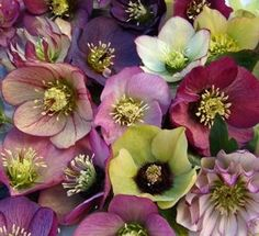 Absolutely gorgeous! - Lenten roses garden