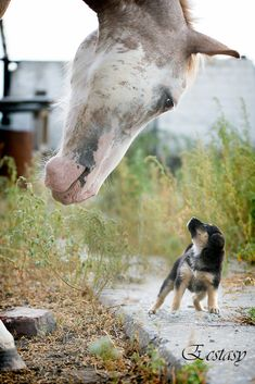 tiny puppy almost can't look up far enough to see the horse!