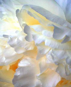Peonies  #peony #flora  #white  #yellow #abstract #petals #soft