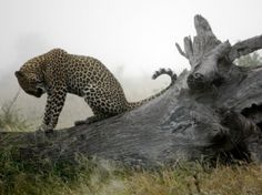 A dew-bathed juvenile leopard takes a peaceful moment atop a fallen tree on a wintry South African morning. by Queen of them all