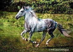 Dapple Grey Horse Canter Cantering Stallion Gelding Mare